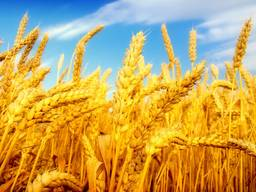 Экспорт зерно масло фуражное ячмень кукуруза мука пшеница