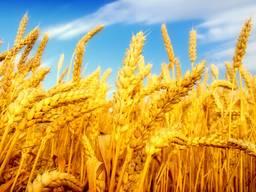 Экспорт , зерно, фуражное, ячмень, кукуруза, мука, пшеница