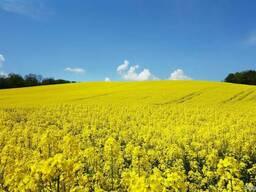 Repkove semeno bez GMO