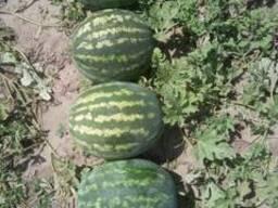 Vodní meloun - photo 2