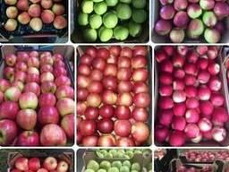 Яблука оптом Apples in bulk Ukraine LLC Mitlife